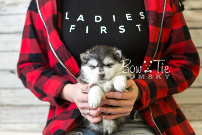 puppy41 week6 BowTiePomsky.com Bowtie Pomsky Puppy For Sale Husky Pomeranian Mini Dog Spokane WA Breeder Blue Eyes Pomskies web6