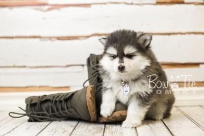 puppy41 week8 BowTiePomsky.com Bowtie Pomsky Puppy For Sale Husky Pomeranian Mini Dog Spokane WA Breeder Blue Eyes Pomskies web4