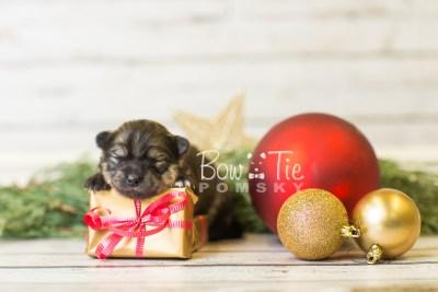 puppy42 week1 BowTiePomsky.com Bowtie Pomsky Puppy For Sale Husky Pomeranian Mini Dog Spokane WA Breeder Blue Eyes Pomskies BowTIePomsky_web-3125