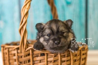 puppy42 week4 BowTiePomsky.com Bowtie Pomsky Puppy For Sale Husky Pomeranian Mini Dog Spokane WA Breeder Blue Eyes Pomskies web2