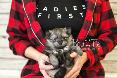 puppy42 week6 BowTiePomsky.com Bowtie Pomsky Puppy For Sale Husky Pomeranian Mini Dog Spokane WA Breeder Blue Eyes Pomskies web1