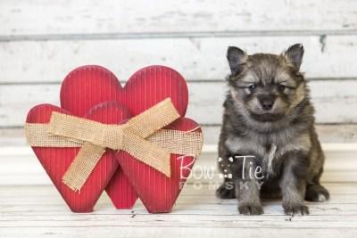 puppy42 week6 BowTiePomsky.com Bowtie Pomsky Puppy For Sale Husky Pomeranian Mini Dog Spokane WA Breeder Blue Eyes Pomskies web2