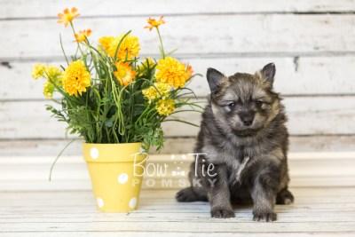 puppy42 week6 BowTiePomsky.com Bowtie Pomsky Puppy For Sale Husky Pomeranian Mini Dog Spokane WA Breeder Blue Eyes Pomskies web3