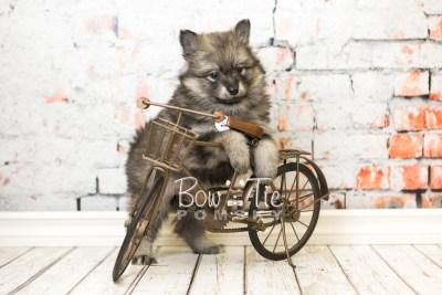 puppy42 week8 BowTiePomsky.com Bowtie Pomsky Puppy For Sale Husky Pomeranian Mini Dog Spokane WA Breeder Blue Eyes Pomskies web6