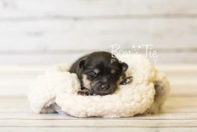 puppy43 week1 BowTiePomsky.com Bowtie Pomsky Puppy For Sale Husky Pomeranian Mini Dog Spokane WA Breeder Blue Eyes Pomskies BowTIePomsky_web-3138