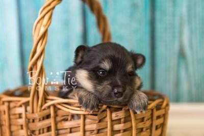 puppy43 week4 BowTiePomsky.com Bowtie Pomsky Puppy For Sale Husky Pomeranian Mini Dog Spokane WA Breeder Blue Eyes Pomskies web2