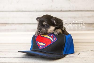 puppy43 week4 BowTiePomsky.com Bowtie Pomsky Puppy For Sale Husky Pomeranian Mini Dog Spokane WA Breeder Blue Eyes Pomskies web3