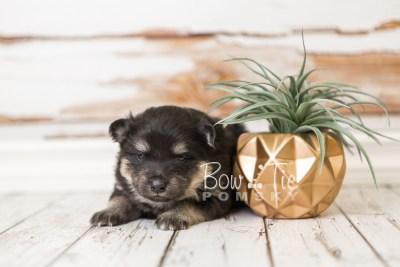 puppy43 week4 BowTiePomsky.com Bowtie Pomsky Puppy For Sale Husky Pomeranian Mini Dog Spokane WA Breeder Blue Eyes Pomskies web5