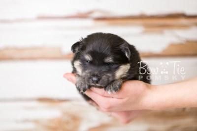 puppy43 week4 BowTiePomsky.com Bowtie Pomsky Puppy For Sale Husky Pomeranian Mini Dog Spokane WA Breeder Blue Eyes Pomskies web6