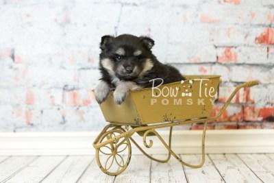 puppy43 week6 BowTiePomsky.com Bowtie Pomsky Puppy For Sale Husky Pomeranian Mini Dog Spokane WA Breeder Blue Eyes Pomskies web2