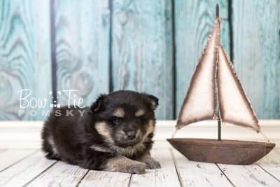 puppy43 week6 BowTiePomsky.com Bowtie Pomsky Puppy For Sale Husky Pomeranian Mini Dog Spokane WA Breeder Blue Eyes Pomskies web6