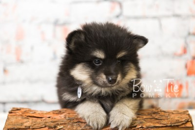 puppy43 week8 BowTiePomsky.com Bowtie Pomsky Puppy For Sale Husky Pomeranian Mini Dog Spokane WA Breeder Blue Eyes Pomskies web2
