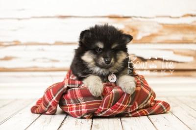 puppy43 week8 BowTiePomsky.com Bowtie Pomsky Puppy For Sale Husky Pomeranian Mini Dog Spokane WA Breeder Blue Eyes Pomskies web4