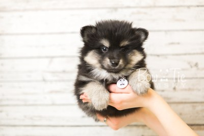 puppy43 week8 BowTiePomsky.com Bowtie Pomsky Puppy For Sale Husky Pomeranian Mini Dog Spokane WA Breeder Blue Eyes Pomskies web6
