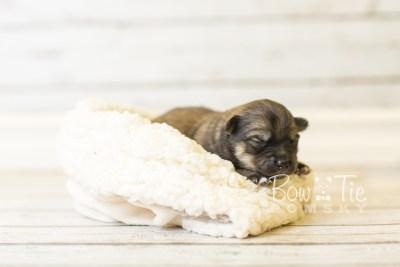 puppy44 week1 BowTiePomsky.com Bowtie Pomsky Puppy For Sale Husky Pomeranian Mini Dog Spokane WA Breeder Blue Eyes Pomskies BowTIePomsky_web-3193