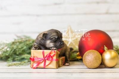 puppy44 week1 BowTiePomsky.com Bowtie Pomsky Puppy For Sale Husky Pomeranian Mini Dog Spokane WA Breeder Blue Eyes Pomskies BowTIePomsky_web-3223