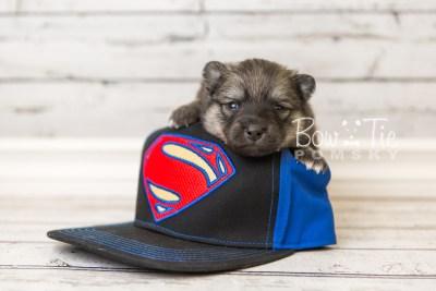 puppy44 week4 BowTiePomsky.com Bowtie Pomsky Puppy For Sale Husky Pomeranian Mini Dog Spokane WA Breeder Blue Eyes Pomskies web4
