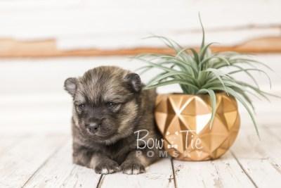puppy44 week4 BowTiePomsky.com Bowtie Pomsky Puppy For Sale Husky Pomeranian Mini Dog Spokane WA Breeder Blue Eyes Pomskies web5