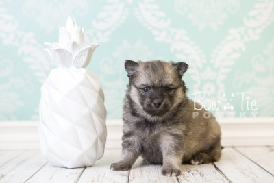 puppy44 week6 BowTiePomsky.com Bowtie Pomsky Puppy For Sale Husky Pomeranian Mini Dog Spokane WA Breeder Blue Eyes Pomskies web3