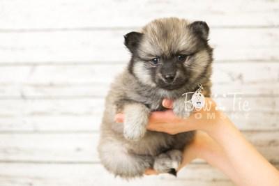 puppy44 week8 BowTiePomsky.com Bowtie Pomsky Puppy For Sale Husky Pomeranian Mini Dog Spokane WA Breeder Blue Eyes Pomskies web1
