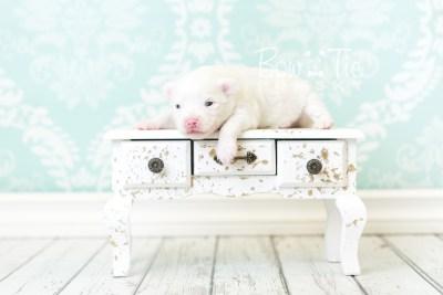 puppy45 week3 BowTiePomsky.com Bowtie Pomsky Puppy For Sale Husky Pomeranian Mini Dog Spokane WA Breeder Blue Eyes Pomskies web1