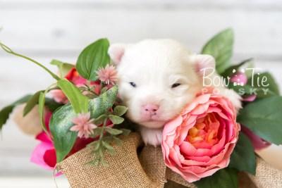 puppy45 week3 BowTiePomsky.com Bowtie Pomsky Puppy For Sale Husky Pomeranian Mini Dog Spokane WA Breeder Blue Eyes Pomskies web3