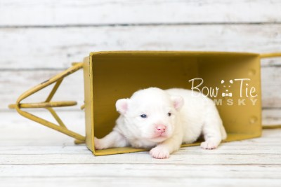 puppy45 week3 BowTiePomsky.com Bowtie Pomsky Puppy For Sale Husky Pomeranian Mini Dog Spokane WA Breeder Blue Eyes Pomskies web5
