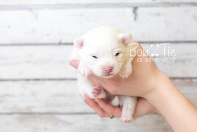 puppy45 week3 BowTiePomsky.com Bowtie Pomsky Puppy For Sale Husky Pomeranian Mini Dog Spokane WA Breeder Blue Eyes Pomskies web6