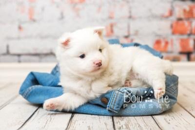 puppy45 week5 BowTiePomsky.com Bowtie Pomsky Puppy For Sale Husky Pomeranian Mini Dog Spokane WA Breeder Blue Eyes Pomskies web2