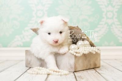 puppy45 week5 BowTiePomsky.com Bowtie Pomsky Puppy For Sale Husky Pomeranian Mini Dog Spokane WA Breeder Blue Eyes Pomskies web3