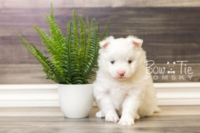 puppy45 week5 BowTiePomsky.com Bowtie Pomsky Puppy For Sale Husky Pomeranian Mini Dog Spokane WA Breeder Blue Eyes Pomskies web5
