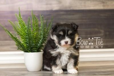 puppy46 week5 BowTiePomsky.com Bowtie Pomsky Puppy For Sale Husky Pomeranian Mini Dog Spokane WA Breeder Blue Eyes Pomskies web5