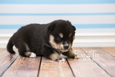 puppy47 week3 BowTiePomsky.com Bowtie Pomsky Puppy For Sale Husky Pomeranian Mini Dog Spokane WA Breeder Blue Eyes Pomskies web1