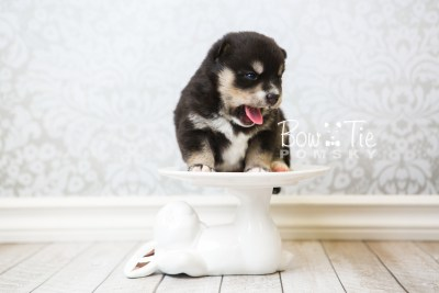 puppy47 week3 BowTiePomsky.com Bowtie Pomsky Puppy For Sale Husky Pomeranian Mini Dog Spokane WA Breeder Blue Eyes Pomskies web3