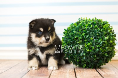 puppy47 week5 BowTiePomsky.com Bowtie Pomsky Puppy For Sale Husky Pomeranian Mini Dog Spokane WA Breeder Blue Eyes Pomskies web4