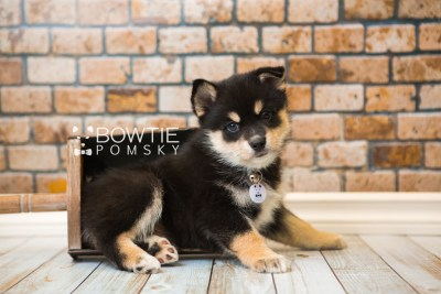 puppy47 week7 BowTiePomsky.com Bowtie Pomsky Puppy For Sale Husky Pomeranian Mini Dog Spokane WA Breeder Blue Eyes Pomskies web3