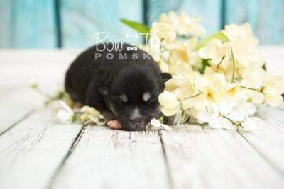 puppy48 week1 BowTiePomsky.com Bowtie Pomsky Puppy For Sale Husky Pomeranian Mini Dog Spokane WA Breeder Blue Eyes Pomskies web4