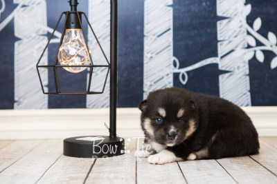 puppy48 week3 BowTiePomsky.com Bowtie Pomsky Puppy For Sale Husky Pomeranian Mini Dog Spokane WA Breeder Blue Eyes Pomskies web6