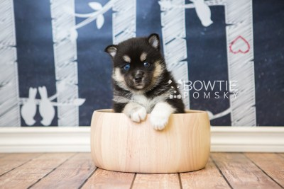 puppy48 week5 BowTiePomsky.com Bowtie Pomsky Puppy For Sale Husky Pomeranian Mini Dog Spokane WA Breeder Blue Eyes Pomskies web6