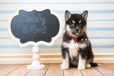 puppy48 week7 BowTiePomsky.com Bowtie Pomsky Puppy For Sale Husky Pomeranian Mini Dog Spokane WA Breeder Blue Eyes Pomskies web1