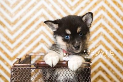 puppy48 week7 BowTiePomsky.com Bowtie Pomsky Puppy For Sale Husky Pomeranian Mini Dog Spokane WA Breeder Blue Eyes Pomskies web5
