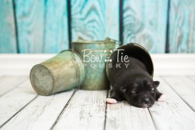 puppy49 week1 BowTiePomsky.com Bowtie Pomsky Puppy For Sale Husky Pomeranian Mini Dog Spokane WA Breeder Blue Eyes Pomskies web1