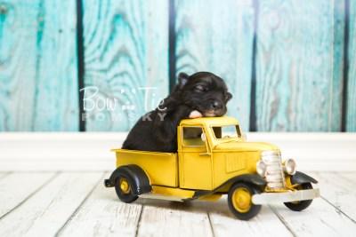 puppy49 week1 BowTiePomsky.com Bowtie Pomsky Puppy For Sale Husky Pomeranian Mini Dog Spokane WA Breeder Blue Eyes Pomskies web2