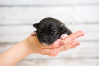 puppy49 week1 BowTiePomsky.com Bowtie Pomsky Puppy For Sale Husky Pomeranian Mini Dog Spokane WA Breeder Blue Eyes Pomskies web6