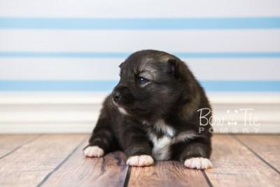 puppy49 week3 BowTiePomsky.com Bowtie Pomsky Puppy For Sale Husky Pomeranian Mini Dog Spokane WA Breeder Blue Eyes Pomskies web5