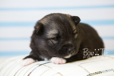 puppy49 week3 BowTiePomsky.com Bowtie Pomsky Puppy For Sale Husky Pomeranian Mini Dog Spokane WA Breeder Blue Eyes Pomskies web6