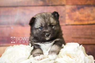 puppy49 week5 BowTiePomsky.com Bowtie Pomsky Puppy For Sale Husky Pomeranian Mini Dog Spokane WA Breeder Blue Eyes Pomskies web5