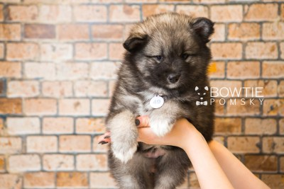 puppy49 week7 BowTiePomsky.com Bowtie Pomsky Puppy For Sale Husky Pomeranian Mini Dog Spokane WA Breeder Blue Eyes Pomskies web4