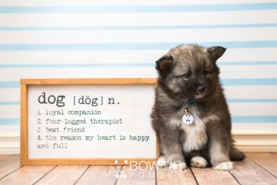 puppy49 week7 BowTiePomsky.com Bowtie Pomsky Puppy For Sale Husky Pomeranian Mini Dog Spokane WA Breeder Blue Eyes Pomskies web5