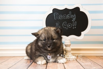 puppy49 week7 BowTiePomsky.com Bowtie Pomsky Puppy For Sale Husky Pomeranian Mini Dog Spokane WA Breeder Blue Eyes Pomskies web6